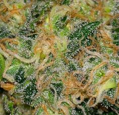 "Super Sour Widow  50/50 Hybrid Sour Diesel x White Widow Smell: Fruity Taste: Tangy and sweet. Effect: This strain induces a very strong ""head high."" Effects Peaked concentration Creative, engagement Euphoric Energized"