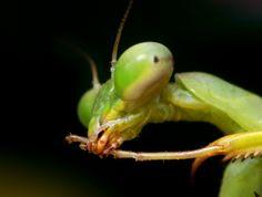 Más tamaños   Praying Mantis Nymph Profile - ((Mantis religiosa?)   Flickr: ¡Intercambio de fotos!
