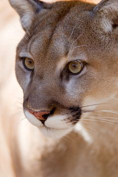 Mountain lion - I've seen them in the wild. Gorgeous. Scary, but gorgeous.