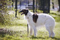 """Borzoi      The Russian wolfhound or Borzoi (which literally means """"fast"""") resembles the greyhound in shape but is also a member of the sighthound family, one of the tallest breeds of dog."""