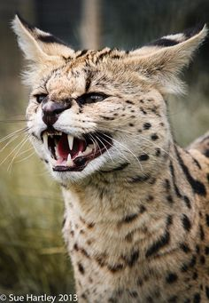 Aggressive facial expression for survivor character. Serval by Sue Hartley Animal Gato, Mundo Animal, My Animal, Big Cats, Cool Cats, Cats And Kittens, Beautiful Cats, Animals Beautiful, Cute Animals