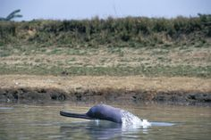 Rare river dolphins get trapped in fishing nets as waters drop
