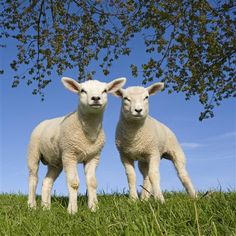 Lammetjes, dijk, hollands landschap. Lambs, dike, dutch landscape. Inspiratie voor mijn project OP DE DIJK textielbroches.   Inspiration for a project ON THE DIKE textile brooches.