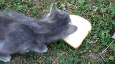 Can cat eat bread