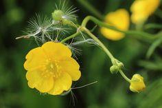 Butterblume, Blüte, Samen, Löwenzahn, Flugsamen