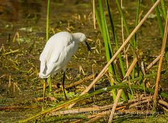 Snowy Egret (Egretta thula) foraging along the boardwalk at Green Cay Wetlands in Florida | Show Me Nature Photography