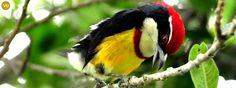 https://www.facebook.com/WonderBirds-171150349611448/ Cu rốc băng ngực đỏ; Họ Cu rốc châu Mỹ-Capitonidae; loài đặc hữu Peru || Scarlet-banded barbet (Capito wallacei); IUCN Red List of Threatened Species 3.1 : Vulnerable (VU)(Loài sắp nguy cấp)