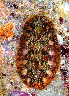 Mopalia ciliata - Hairy Chiton