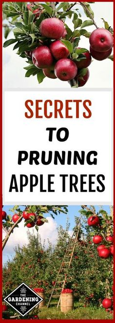 Find out what you need to know to prune apple trees. Here's a pruning guide for apples trees, including how to prune, when to prune, how to make cuts, and much more. Prune Fruit, Pruning Fruit Trees, Tree Pruning, Pruning Plants, Planting Apple Trees, Growing Apple Trees, Fruit Plants, Fruit Garden, Garden Trees