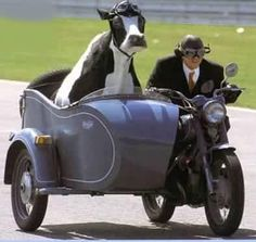 taking cow for a ride