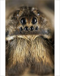 An poster sized print, approx (other products available) - Tarantula spider - face (Trochosa singoriensis). - Image supplied by Mary Evans Prints Online - Poster printed in the USA Fine Art Prints, Framed Prints, Canvas Prints, Spider Face, Head Anatomy, A0 Poster, Wonderful Images, Art Reproductions, Poster Size Prints