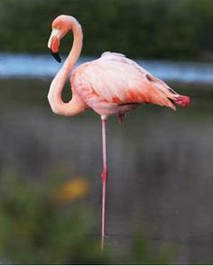 Why do flamingos stand on one leg? | Get Facted Up!