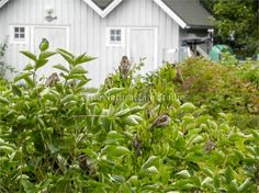This gathering of house sparrows in a bush is located near the ferry dock on Lake Mälaren in Västerås, Sweden. Västerås is in central Sweden on the Stockholm Archipelago.