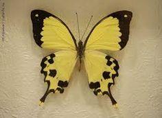 яркие тропические бабочки - Поиск в Google