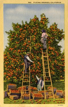 Picking Oranges in California -- Vintage Post Card by Miehana, via Flickr