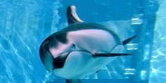 *** PLEASE READ, SIGN AND SHARE *** TY!!! Stop the export of Kirara, a Pacific white-sided dolphin! SeaWorld is planning to import Kirara, a Pacific white-sided dolphin, from Kamogawa Seaworld in Japan.