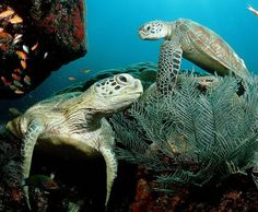 Sea turtles or marine turtles are turtles that inhabit all of the world's oceans except the Arctic. Most species of sea turtle are endangered. Green Turtle, Turtle Love, Sea Turtle Wallpaper, Animals Beautiful, Cute Animals, Animals Amazing, Beautiful Ocean, Beautiful Creatures, Sea Turtles