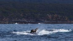 Sea Lion surfing on