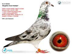 Pigeons For Sale, Pigeon Pictures, Pigeon Breeds, Homing Pigeons, Pigeon Loft, At Least, Racing, Birds, House Design