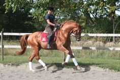 Bellman 1196.. 2006 Swedish Warm-blood competitive in intermediate dressage and is an active stallion. Gorgeous