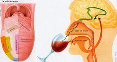 Como todos sabemos, el sentido del gusto está en la lengua, donde se localizan las cuatro sensaciones pri...