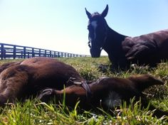 Zenyatta and her Bernardini colt. The only thing prettier than a Zenyatta is a Bernardini! Oh can't wait to see this little rotter grow up... he's going to be crush-worthy for sure.