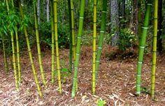 Bamboo Seeds Catalog — มีเมล็ดพันธุ์ไผ่จำหน่าย: PHYLLOSTACHYS SULPHUREA VIRIDIS — FRESH SEEDS ARRI...