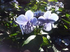 Hydrangea #Hydrangea Shadow Play in Hydrangea