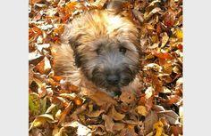 Gilbert the Soft Coated Wheaten Terrier