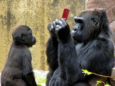 """A child dropped his Ninendo DS into the gorilla exhibit at the San Francisco Zoo. One gorilla seemed to know the """"finders keepers"""" part of the game and snapped it up immediately. Photographer Christina Spicuzza noticed what happened and captured the scene that followed."""