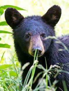 Black Bear Cub by Jesse Fraetis - Photo 158487793 - 500px