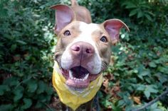 LIVIA - A1088114 - - Manhattan  Please Share:TO BE DESTROYED 09/11/16 **ON PUBLIC LIST** A volunteer writes: If I had my wish I would have spent the day with Livia! So calm, gentle and snuggly she's the perfect date for an easy walk to the park. Her leash manners are wonderful, she pottied as soon as we were out the door, her tail wags gently at all, and her kisses are sublime! The cutest freckled nose opens up into an ear to ear smile, her eyes light up with wonder,