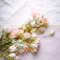 Blush pink blooms.