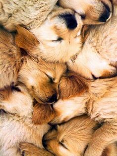 golden retriever puppy pile!
