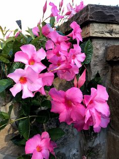 Swimming pool landscaping should provide lots of color in the summer like this mandavilla vine that blossoms all summer.