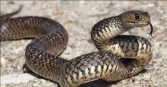 Ular Ternyata Sangat Takut dengan Dua benda ini Penasaran ? Simak gan http://ift.tt/2njBFGy  Banyak mitos seputar ular. Mitos  mitos seputar ular memang seringkali menjadi kepercayaan masyarakat . Misalnya cara mengusir ular dengan menggunakan garam ini bisa membuat ular takut. Tapi mitos mengusir ular dengan garam itu tidak benar  faktanya ular adalah hewan bersisik jadi garam pun tak mempan.  Dan tahukah kamu jika ular adalah hewan yang paling takut dengan sapu ijuk dan semprotkan pewangi…