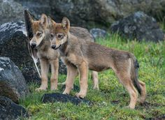How to Catch a Glimpse of Canada's Coastal Wolves? Wait, and Then Wait Some More | PROOF
