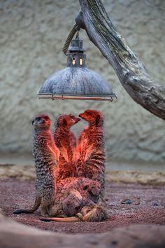 Red light district... meerkats keeping warm under a heat lamp.