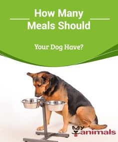 How Many Meals Should Your Dog Have?  You have finally decided! You are going to adopt a pet. It's your first time and you are very excited, but suddenly you realize that you have many doubts. One of the most important ones could be how many meals your dog should have. Today we are going to give you the definitive answer.