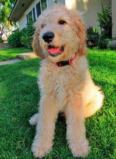 Cute goldendoodle.