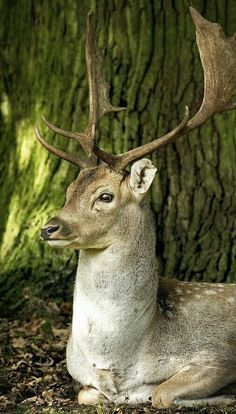 """Fallow Deer Stag: """"Resting Under A Tree."""""""