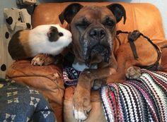 La formidable amitié entre un Boxer et un Cochon d'Inde - Yummypets