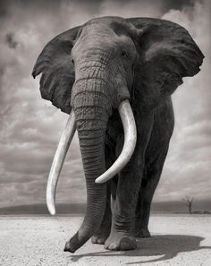Nick Brandt photo. The Ivory looks most beautiful as an Elephant tusk; as any other form it looks hideous to me