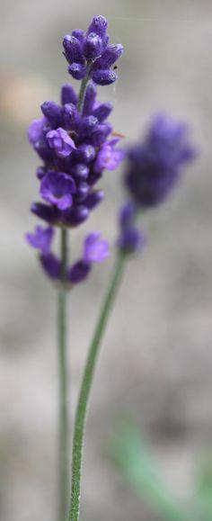 Lavender (click for a lovely larger image)