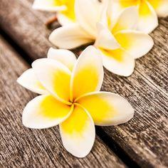 Die Wirkung und Anwendung von ätherischem Frangipani-Öl: Das aus Frangipani-Blüten gewonnene ätherische Öl fördert Inspiration, Kreativität und Intuition, beseitigt geistige Blockaden ...