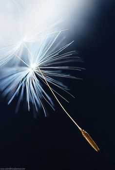 *Make a Wish! (Dandelion)
