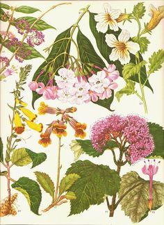 vintage book plate botanical print