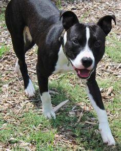 7 / 29    ***PUPPY ALERT*** Petango.com – Meet Chaska, a 9 months 8 days Terrier, Pit Bull / Mix available for adoption in WICHITA, KS Address  3313 N Hillside, WICHITA, KS, 67219  Phone  (316) 524-9196  Website  http://www.kshumane.org  Email  mgray@kshumane.org