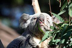 Koala Bear tongue by FrogMiller, via Flickr