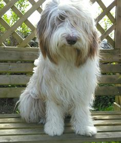 Hydie,your such a beautiful bearded collie...